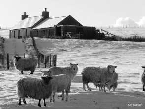 Sheep in winter at Bryameadow Farm, Orkney