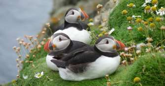 Puffins on the Orkney cliffs