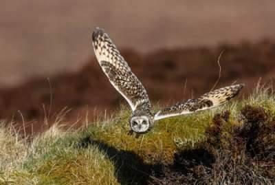 Short Eared Owl over Orkney Moors