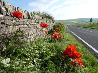 Poppies by the roadside in Orkney