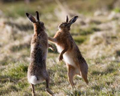 March hares in Orkney