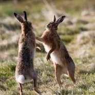Boxing-hares-in-March