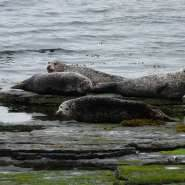 Common-seals-resting