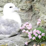 Fulmar-on-cliff-with-seapink