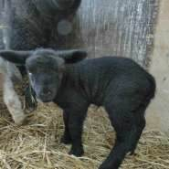 New-born-black-lamb