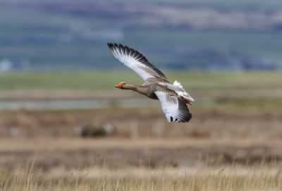 Greylag Goose in Orkney