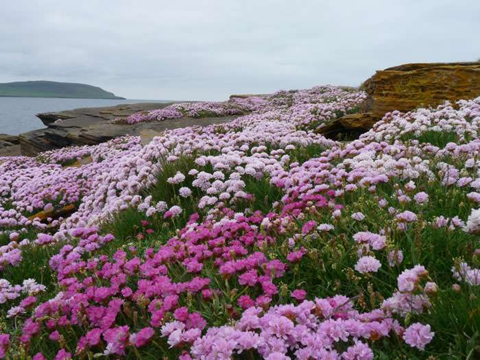 Seapink-on-Orkney-cliffs